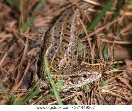 A Small Lizard Hid In The Grass, Close-up, In Its Natural Environment
