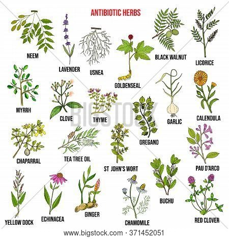 Antibiotic Herbs Collection. Hand Drawn Vector Set Of Medicinal Plants