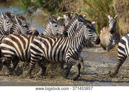 Herd Of Burchell's Zebra Running Through Water On A Sunny Day In Serengeti Tanzania