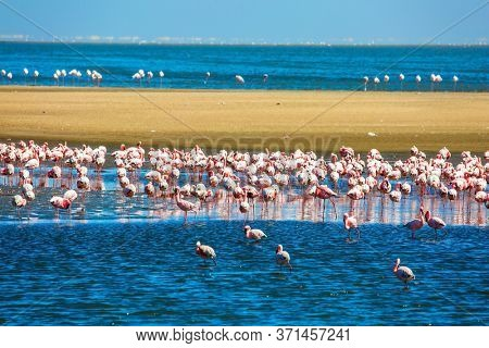 African coast of the Atlantic. Huge colony of pink flamingos. Gorgeous pink birds feed and spend time off the coast in the Namibian resort. Ecological, active, zoological and photo tourism concept