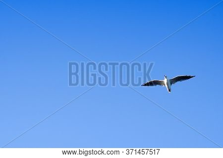 Seagull Flying In The Blue Sky. A Close Up