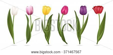 Realistic Detailed 3d Colorful Tulips Buds Set For Bouquet Or Decoration. Vector Illustration Of Tul