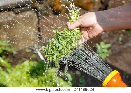 A Womans Hand Holds And Washes Watercress Greens. Collecting Fresh Herbs In The Garden. Jets Of Wate