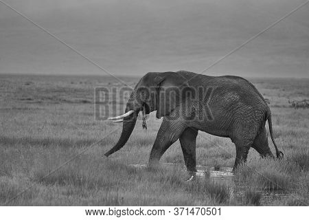 Elephant Big Huge Tusker Amboseli - Big Five Safari -baby African Bush Elephant Loxodonta Africana