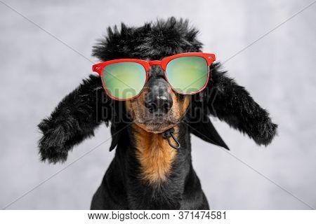 Portrait Of Cheeky Dachshund Dog In Warm Winter Hat With Earflaps And Sunglasses With Polarizing Len