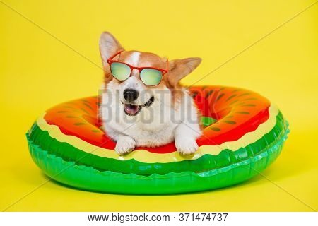 Smiling Welsh Corgi Pembroke Or Cardigan Dog In Red Sunglasses With Polarizing Lenses Lies In Inflat