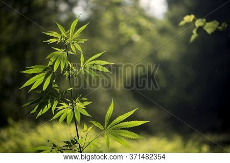 Openwork Sheet Of Hemp. A Branch Of Hemp In The Sun. Medicinal Herb Of The Southern Region. Light Bo