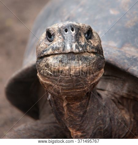Head Of The Galapagos Tortoise On Isabela Island, Galapagos, Ecuador