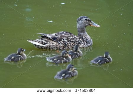 Mallard Anas Platyrhynchos Dabbling Duck With Offspring