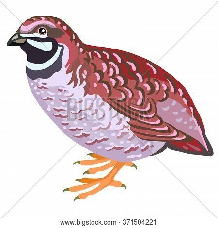 Vector Illustration - A Bird Quail. A Series Of Farm Animals. Graphics, Handmade Drawing. Vintage En