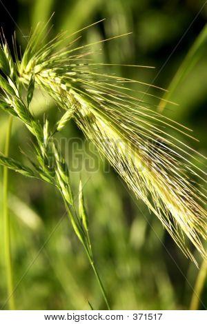 Green Wheat Growing Inf Field