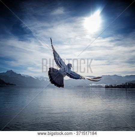 dove flies over lake traunsee in austria