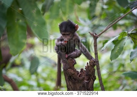 Olive Baboon Baby Papio Anubis Anubis Baboon Cercopithecidae Old World Monkey