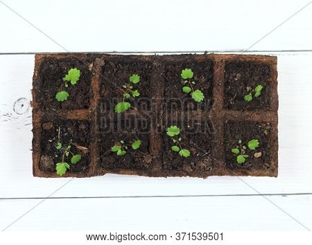 Young Medicinal Strawberry Fragaria Vesca Seedlings In Pots, Top View.  Leaves, Berries And Roots Ar