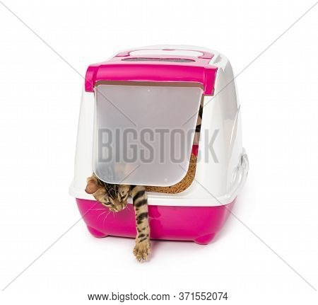 Bengal Kitten Comes Out Of The Enclosed Litter Box Through A Hanging Door. Isolated On White Backgro