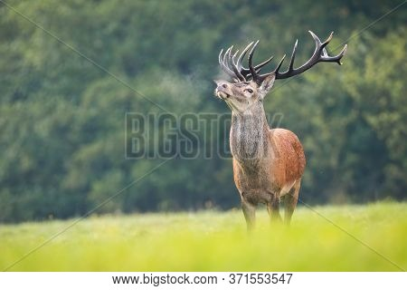 Proud Red Deer Sniffing With Head Up On Green Meadow In Rutting Season.