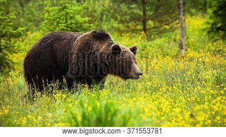 Massive Brown Bear Male Looking Aside In Springtime