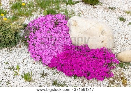 Floral Background From The Phlox Of The Subulate