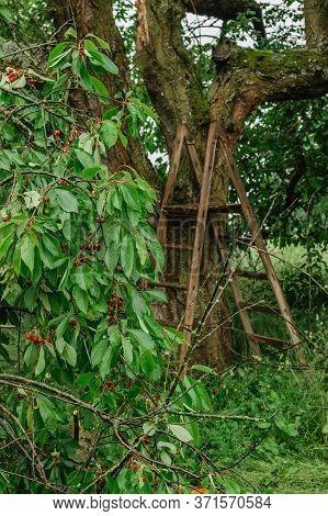 Harvest Of Red Sweet Cherries In The Garden.agricultural Farmer's Scene.woooden Ladder On Tree.cherr