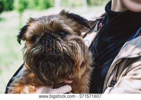 Shaggy Young Brussels Griffon On Female Hands