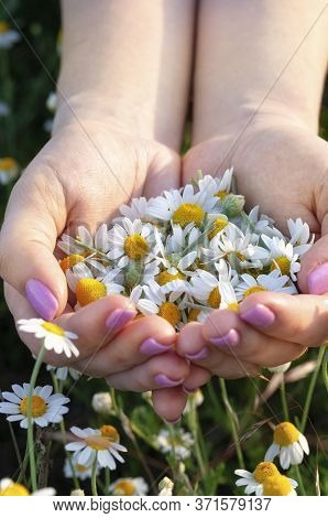 Womans Palms With Fresh Pharmacy Chamomile Flowers On Sunny Summer Day, Closeup. A Full Handful Of C