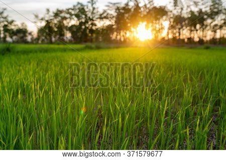 Rice Plant In Farmland Sunset Rice Field