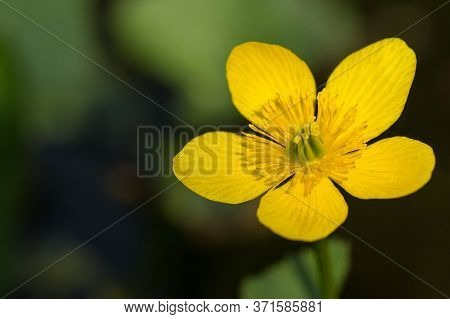 Buttercup Flower Closeup With Green Copy Space