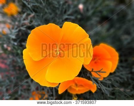 Close-up Of A Flower (eschscholzia Californica) In Showy Cup-shaped, Vibrant Shades Of Orange And Ye