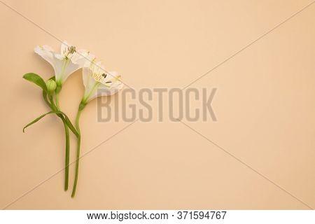 Beautiful Gentle Flower On Powder Background. Beauty Concept Mockup