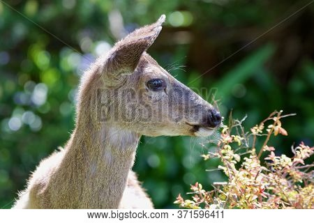Young Black-tailed Deer Looks Alert As It Feeds On Shrubs In Front Yard Of House In Victoria, Britis
