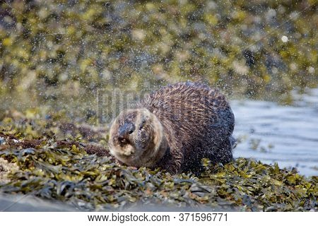 Otter Shakes Vigourously After Climbing Out Of The Sea Onto Seaweed Covered Shore, Clover Point, Van