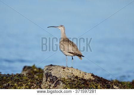 Whimbrel Stands On Barnacle Covered Rock At Low Tide And Cocks Its Head To Look Up At Sky, Clover Po