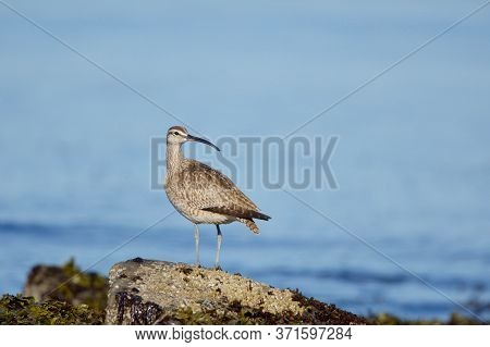 Whimbrel Stands On Shore Rock And Looks Over Its Shoulder, Clover Point, Vancouver Island, British C