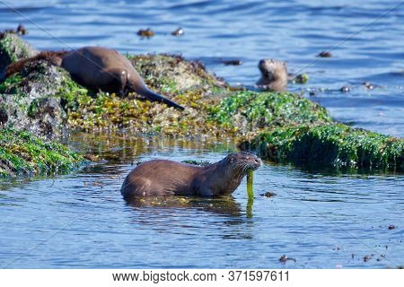 Three River Otters On The Seashore At Low Tide, One Eating A Bright Green Green Penpoint Gunnel Fish