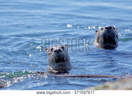 Two River Otters Swimming While They Crane Their Necks To Look, Clover Point, Vancouver Island, Brit