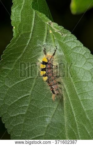 On The Underside Of This Leaf A Vapourer Caterpillar Undertakes The Initial Stages Of Weaving A Coco