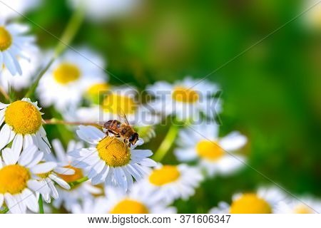 Chamomile Flowers Field Background In Sunlight. Beautiful Nature Scene With Blooming Medical Chamomi