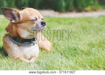 Beautiful Cute Little Red Dog Chihuahua Lies On A Green Lawn Close Up, Place For Text