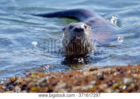 River Otter Comes Ashore With A Fish In Its Mouth, Clover Point, Vancouver Island, British Columbia