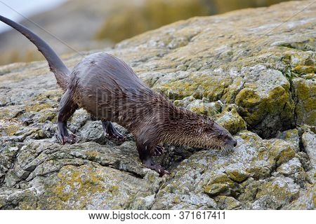 River Otter On Yellow, Lichen Covered Rocks Lifts Its Tail, Clover Point, Vancouver Island, British