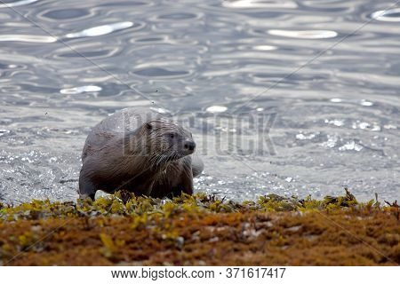 River Otter Climbs Out Of The Sea Onto Seaweed Covered Rocky Shore, Several Insects Fly Around It, C