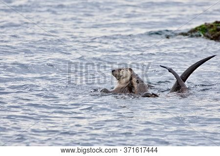 A Female Otter And Her Large Pup Cavort In The Sea Near Clover Point, Vancouver Island, British Colu