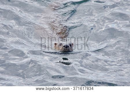 River Otter Swimming Toward Shore, Clover Point, Vancouver Island, British Columbia