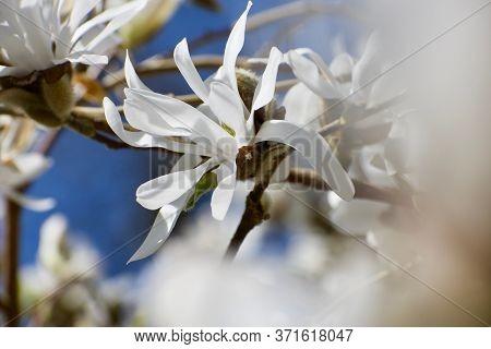 Selective Focus Close Up Of Pure White Magnolia Blossom Contrasting With Dark Blue Sky.