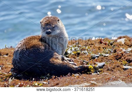 River Otter Lies On The Shore In Morning Sun On Clover Point, Vancouver Island, British Columbia