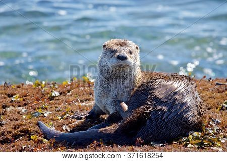 River Otter Scratches Itself While Sitting On Seaweed Covered Rocks In Morninng Sun, Clover Point, V
