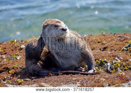 River Otter Scratches Her Neck While Sitting On Shore, Green Sea Behind, Clover Point, Vancouver Isl