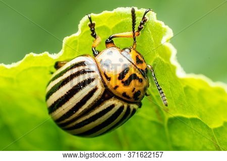 Closeup Of A Colorado Potato Beetle On A Green Leaf Of An Agricultural Crop, On Sown Fields, A Conce