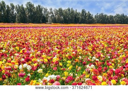 Beautiful sunny spring day. Multi-colored large garden buttercups. The southern border of Israel, a kibbutz field. Ecological, botanical and photo tourism concept