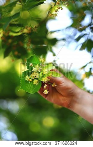 Selective Focus. Macro. The Male Hand Holds A Bunch Of Linden Flowers. Picking Up Linden For Tea. Ha